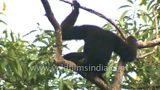 Hoolock Gibbon conservation by villagers in Arunachal