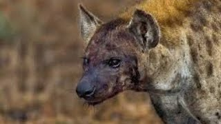 Hyena Caught On Camera !
