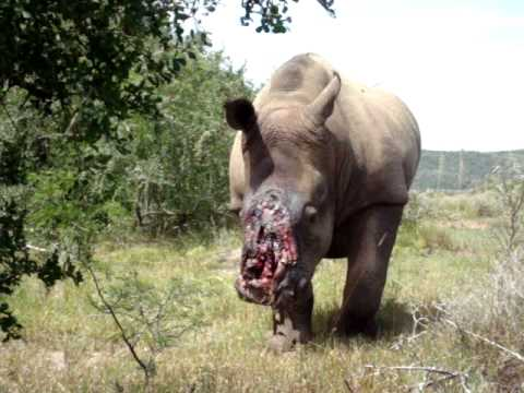 """Poachers Cut Rhino's Horns To Be Used As """"Natural Viagra"""" And Other """"Remedies"""""""