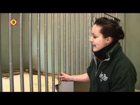 Japans bezoek voor dwergnijlpaard Asabi in Zoo Parc Overloon
