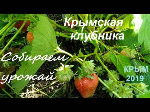 Клубника, сорта, сравнение: какая лучше. Крым, Судак 2019, Дачное