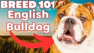 ENGLISH BULLDOG 101! Everything You Need To Know