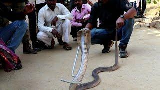 Big cobra snake rescue from Ahmednagar, maharashtra