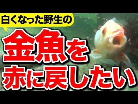 【庭の池】白くなった野生の金魚を赤に戻したい #143 2018.9.23