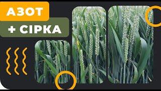 Підживлення Пшениці 2018. Азот + сірка. АгроФіл 2