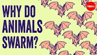 Why do animals form swarms? - Maria R. D