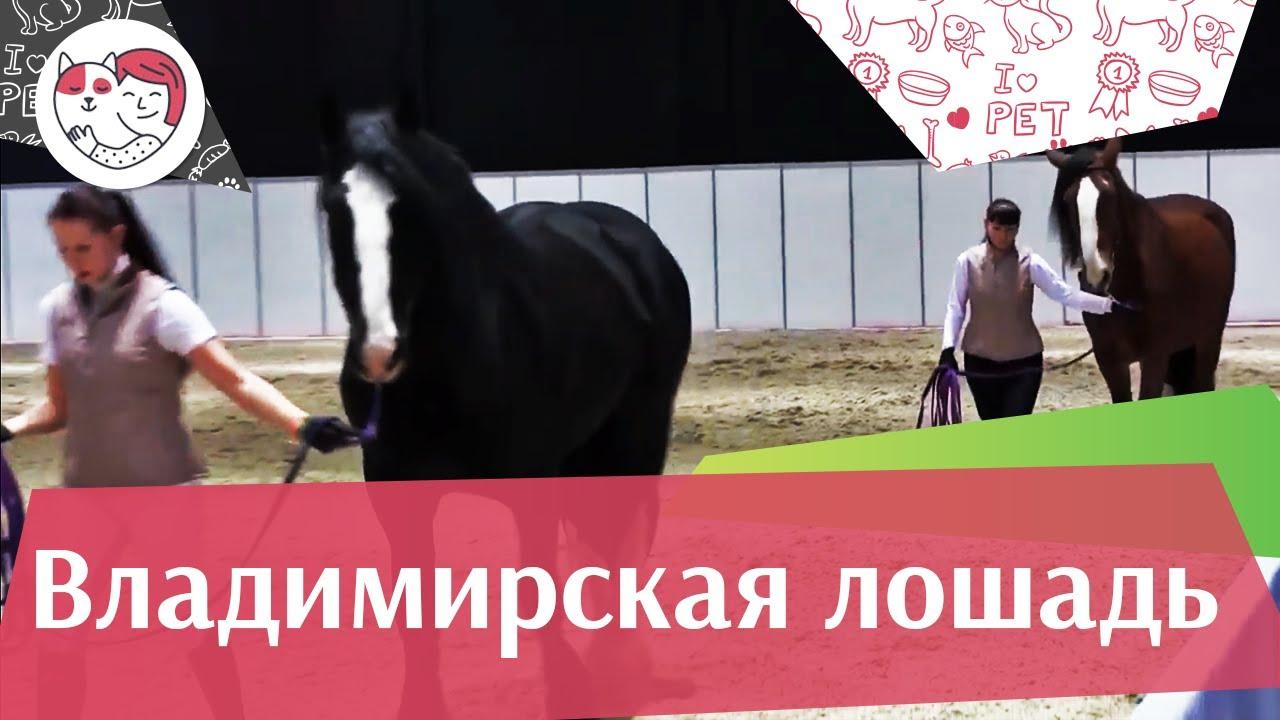 ЛОШАДИ Владимирская порода ЭКВИРОС 2016 на ilikepet