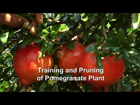 Training and Pruning of Pomegranate Plant - YouTube