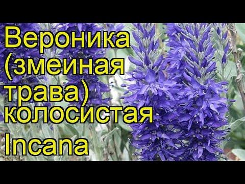 Вероника колосистая Седая. Краткий обзор, описание характеристик veronica spicata Incana