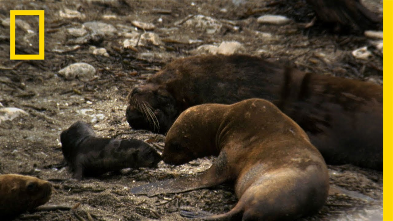 Sea Lion Mating Season | Untamed Americas thumbnail