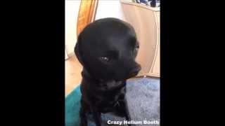 Labrador on Crazy Helium Booth!!!!  hilarious (2015)