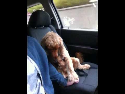 Resultado de imagem para Cachorro medroso que 'segura na mão' do dono no carro vira hit na web fotos
