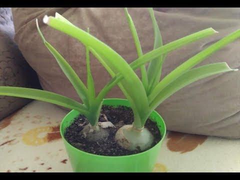 ИНДИЙСКИЙ ЛУК – лекарственное растение | ПТИЦЕМЛЕЧНИК хвостатый | Уход в домашних условиях