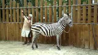 Zeus the Zebra takes a bath