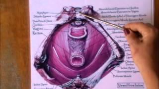 Anatomy of the pelvic floor muscles in women.