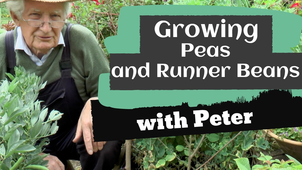 Growing Peas and Runner Beans on your Patio