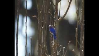 Baby Blue Birds on the way.. Hooo Ray!