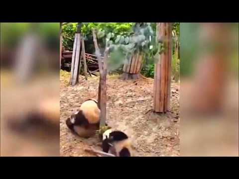 Полный ржач!!! Упала панда, упала на пол!