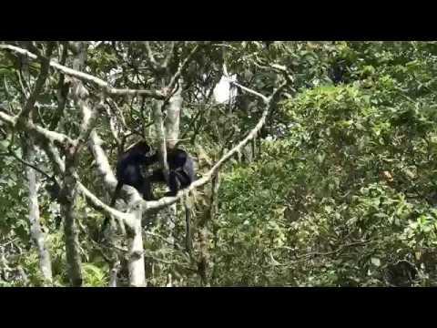 Black Ebony Monkeys, Lombok