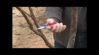 How To Train Walnut Trees