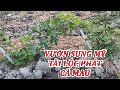 7kg | KHÁM PHÁ VƯỜN SUNG MỸ LỚN NHẤT CÀ MAU |cây sung mỹ, trái sung mỹ