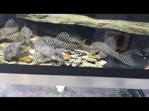 L333 KING TIGER PLECOS HYPANCISTRUS SP  - игровое видео