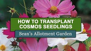 Sean's Allotment Garden 35: Transplanting Cosmos Seedlings