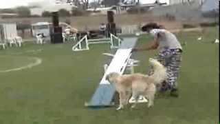 טיפול בעזרת כלבים - טיפול בעזרת בעלי חיים - תחרות אג'יליטי 1