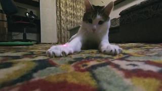 Cat vs. Laser Pointer (slow motion)