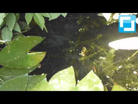Do it yourself: Schwarze Mückenlarven als ideales Fischfutter