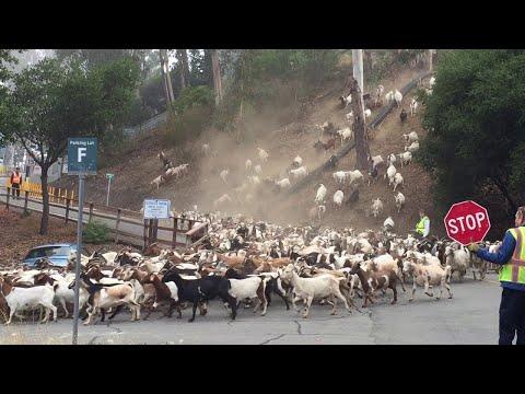 Такого количества коз вы ещё не видели