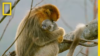 A Baby Golden Snub-Nosed Monkey | Hidden Kingdoms of China thumbnail