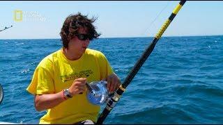 سمكة التونة العنيدة - في مواجهة العتلات الكبيرة