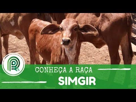 A raça de gado simgir