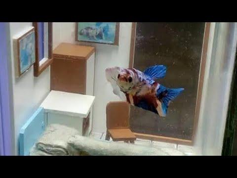 Viral Desain Akuarium Ikan Cupang Mirip Kost Minimalis Netizen Terlalu Kreatif Kaskus
