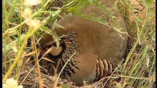 The Queen of El Palomar, the red legged Partridge