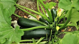 Zucchini, the easiest vegetable to grow, good option for beginners