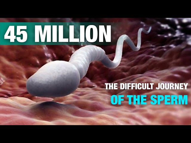 Do you know how a sperm travels?