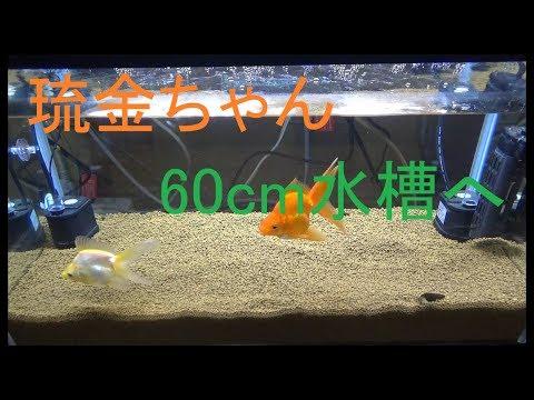 ミントのアクアリウム第14弾(・∀・)(琉金ちゃん60cm水槽へ)