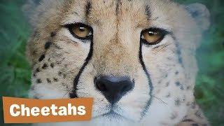 Cheetah Project - Endangered Species Revenge