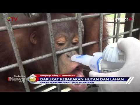 MIRIS! 31 Orang Utan di Nyaru Menteng Terserang ISPA - BIP 18/09