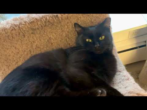Annie, an adopted Domestic Short Hair Mix in Rocky Hill, CT