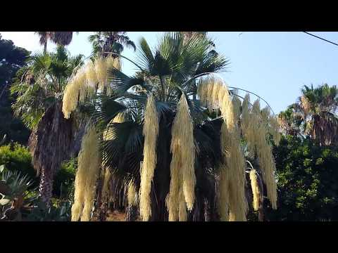 Цветущая пальма, лето у кактусов.