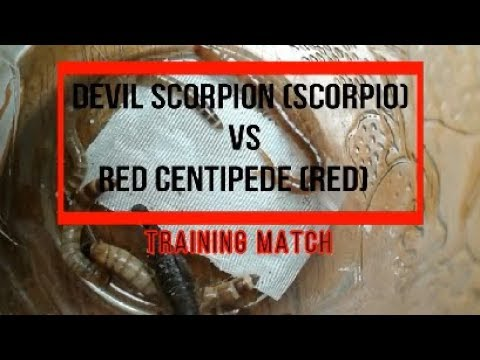 Devil Scorpion Vs Red Centipede