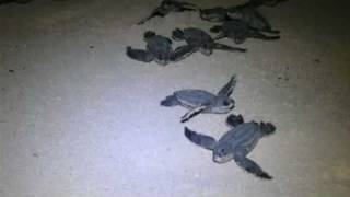 preview picture of video 'Leatherback hatchlings'