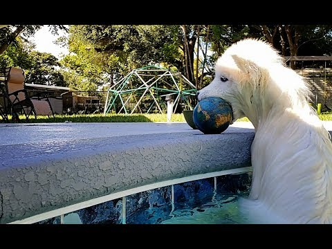 Husky Puppy Willing To Drown For Ball…….lol