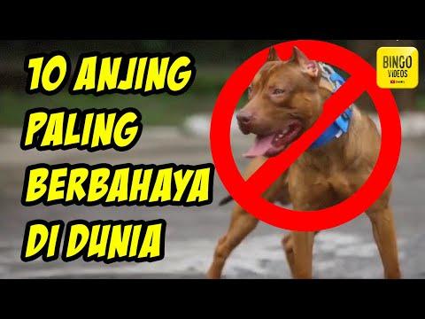 SAMPE DILARANG DIPELIHARA! 10 Jenis Anjing Paling Berbahaya di Dunia
