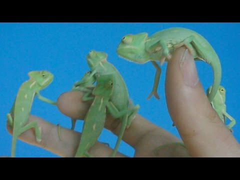 First 4 Months Of The Life Of Veiled Chameleons Ch Calyptratus Inferion7