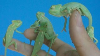 First 4 months of the life of veiled chameleons (Ch. calyptratus) [Inferion7]
