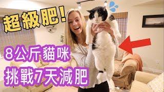 【台灣人比較會養貓咪🐱我們要學!】肥貓挑戰一週減肥,會不會成功?😂 | 貓生減肥之旅